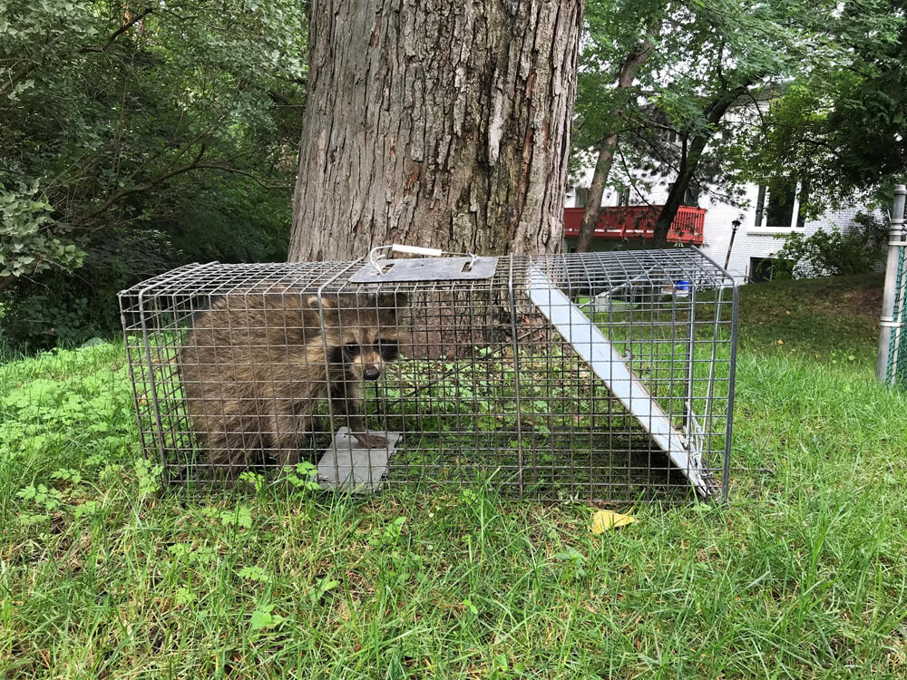 Aurora Raccoon Removal Services
