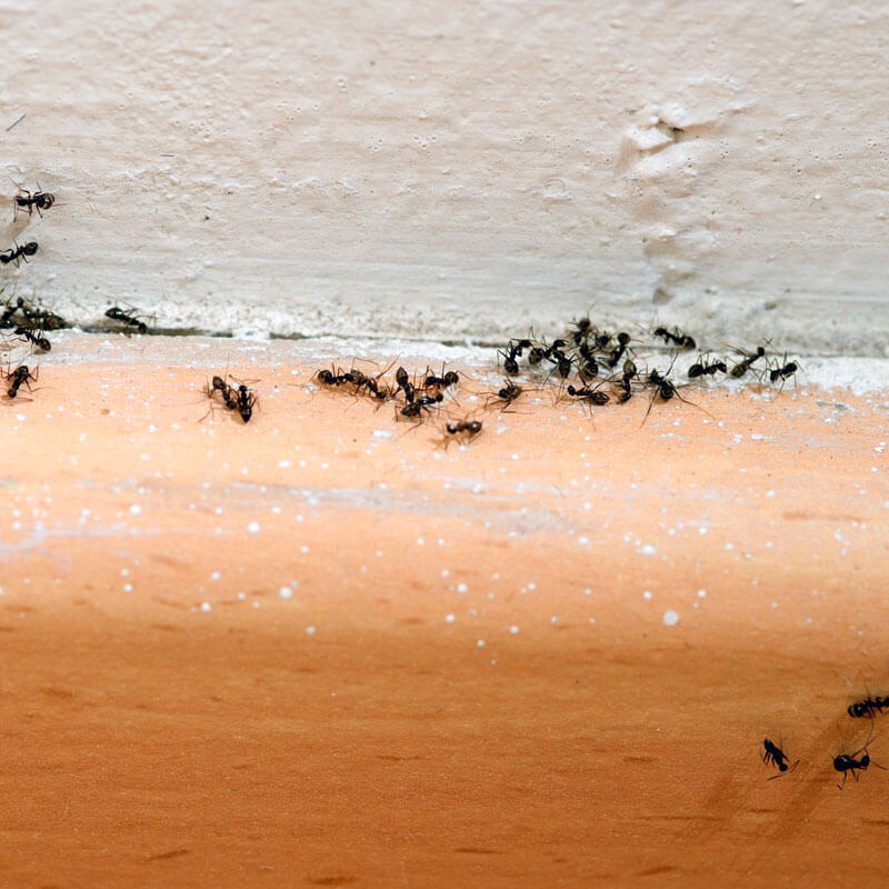 Ant Removal Company