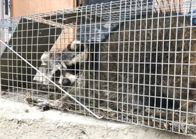 Aurora Raccoon Removal