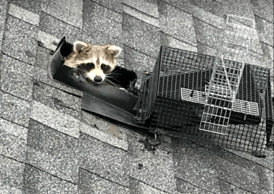 raccoon-removal-toronto-2