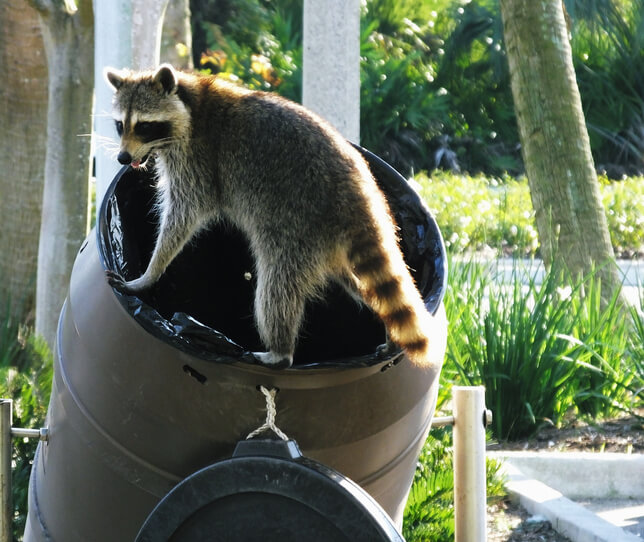 Raccoon Removal Markham