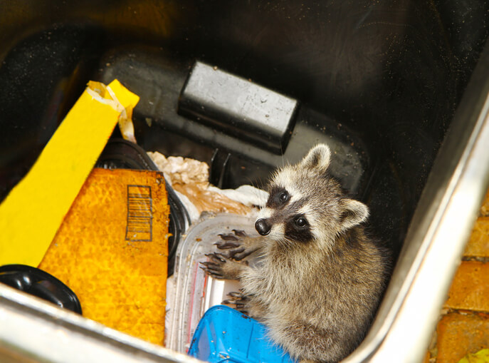 Raccoon Removal Company
