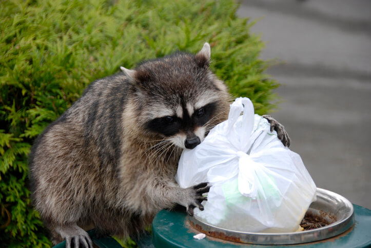 Markham Raccoon Removal