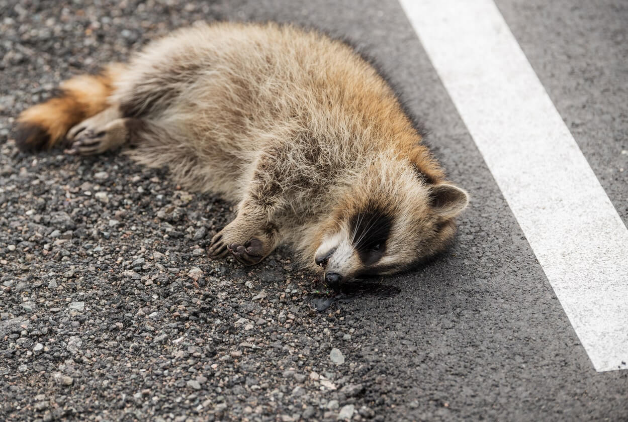 brown dead raccoon removal