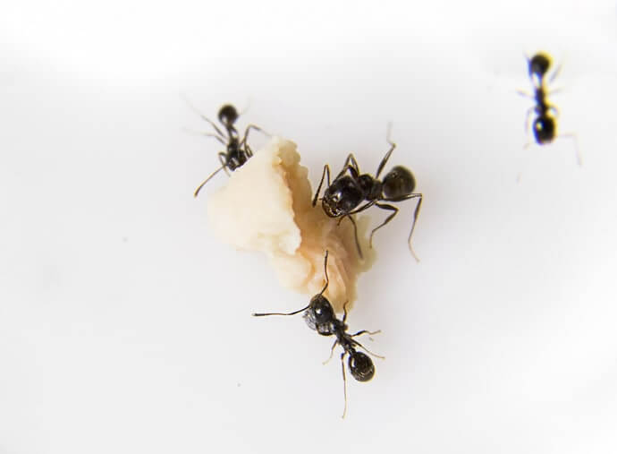 Ant Removal Richmond Hill