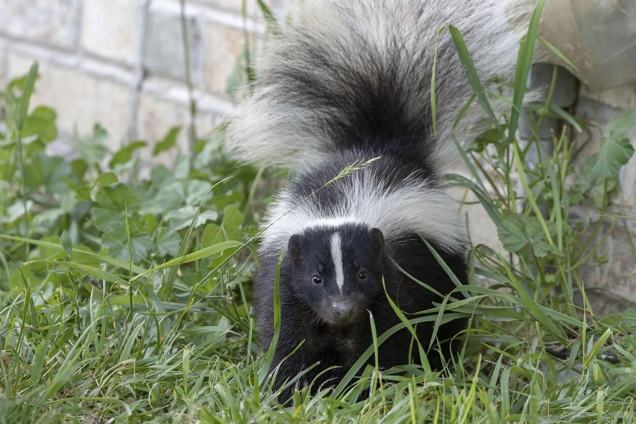 skunk removal-iconpest