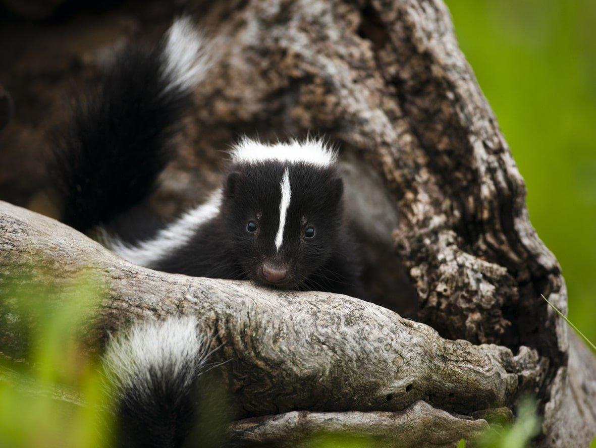 Skunk removal vaughan