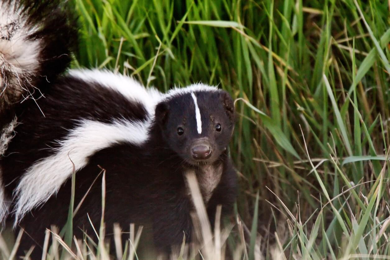 skunk removal ajax