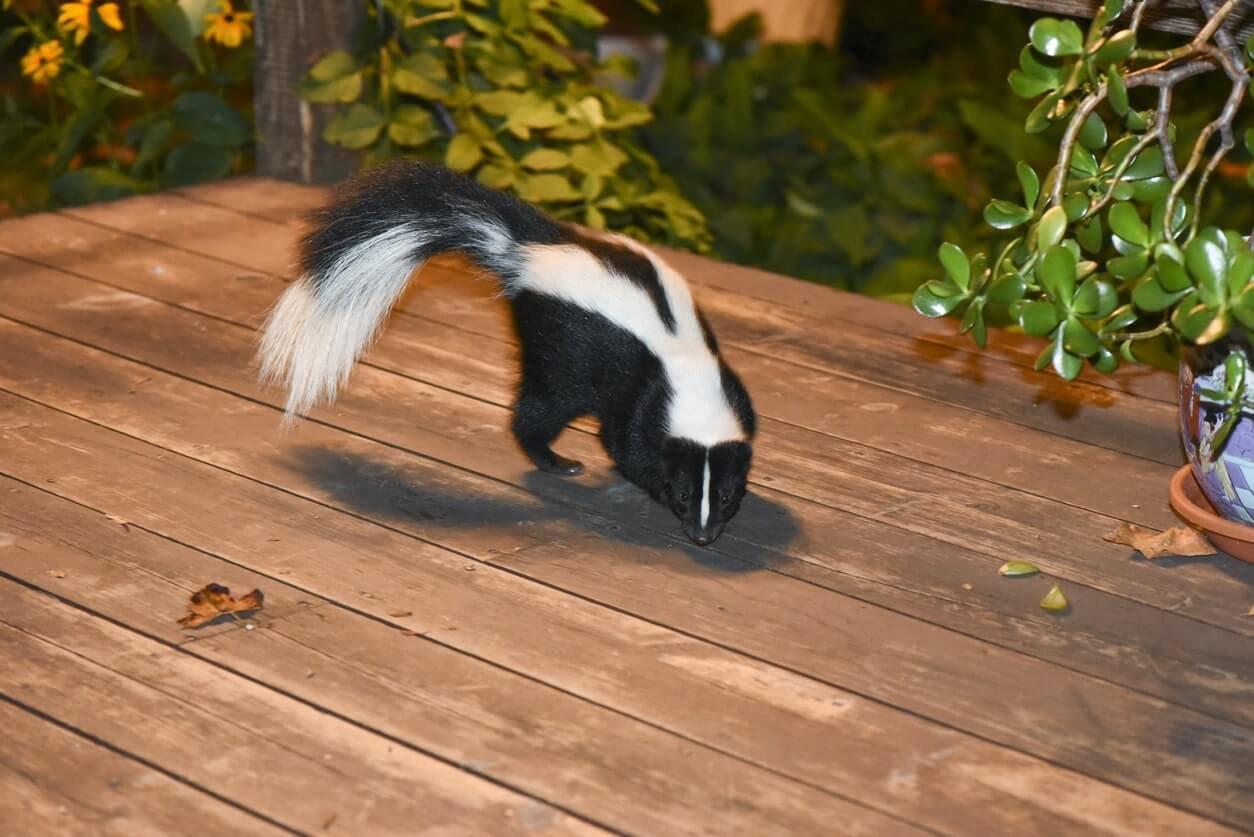 Skunk removal-